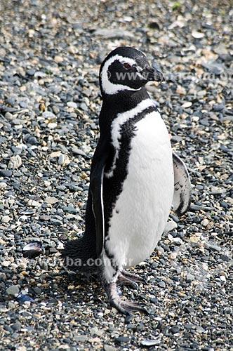 Assunto: Pinguim-de-magalhães (Spheniscus magellanicus) no Canal de Beagle / Local: Patagônia - Argentina - América do Sul / Data: 02/2010
