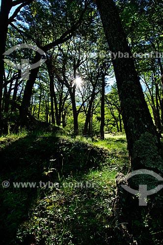 Assunto: Floresta de Lengas no Parque Nacional Los Glaciares / Local: Argentina - América do Sul / Data: 02/2010