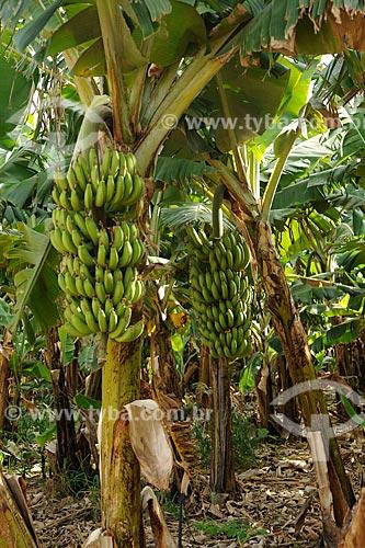 Assunto: Plantação de bananas / Local: Araçuaí - Minas Gerais (MG) - Brasil / Data: 11/2011