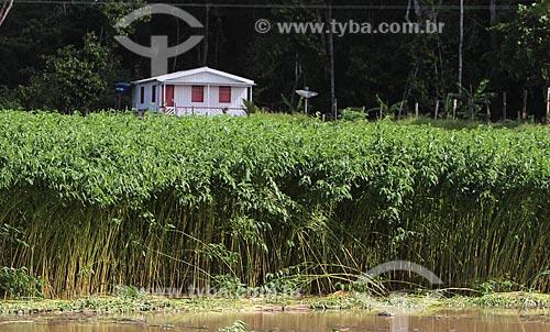 Assunto: Plantação de Juta na beira do Rio Amazonas / Local: Manacapuru - Amazonas (AM) - Brasil / Data: 01/2012