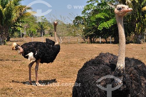 Assunto: Criação de avestruz (Struthio camelus) / Local: Mirante da Serra - Rondônia (RO) - Brasil / Data: 08/2010