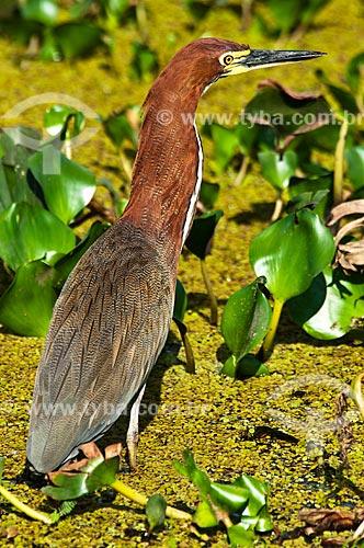 Assunto: Socó-boi - Ave ciconiiforme da família Ardeidae / Local: Corumbá - Mato Grosso do Sul (MS) - Brasil / Data: 10/2010