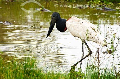Assunto: Tuiuiú em primeiro plano com Jacarés do pantanal ao fundo / Local: Corumbá - Mato Grosso do Sul (MS) - Brasil / Data: 10/2010
