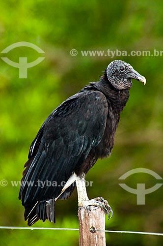 Assunto: Urubu-de-cabeça-preta - Ave cathartiforme da família Cathartidae / Local: Jardim - Mato Grosso do Sul (MS) - Brasil / Data: 10/2010