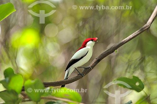 Soldadinho-do-araripe (Antilophia bokermanni), ave rara e ameaçada de extinção, endêmica da Chapada do Araripe, Ceará, Brasil.