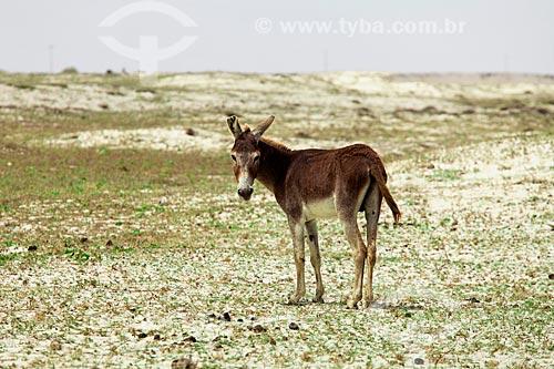 Assunto: Jumento nas dunas de Jericoacora / Local: Jijoca de Jericoacoara - Ceará (CE) - Brasil / Data: 11/2011