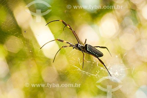 Assunto: Aranha de teia (Nephila clavipes), na trilha para o cume do Morro dos Ingleses / Local: Florianópolis - Santa Catarina (SC) - Brasil / Data: 01/2012