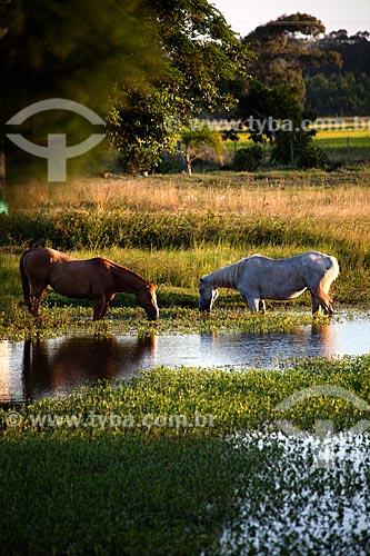 Assunto: Cavalos bebendo água nos Banhados (áreas alagadas permanente ou temporariamente) / Local: Mostardas - Rio Grande do Sul (RS) - Brasil / Data: 02/2012