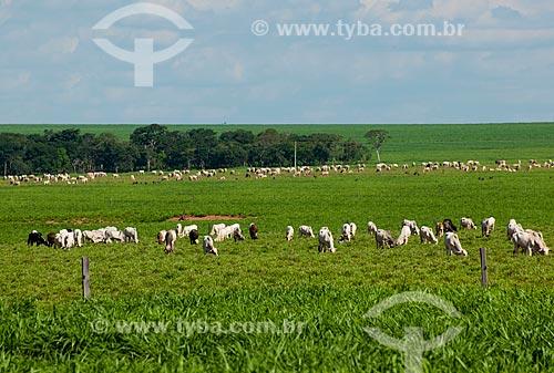 Assunto: Rebanho de gado nelore / Local: Itiquira - Mato Grosso (MT) - Brasil / Data: 12/2011