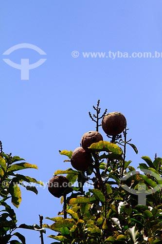 Assunto: Ouriços de castanha - Na fazenda Aruanã / Local: Itacoatiara - Amazonas (AM) - Brasil / Data: 06/2012