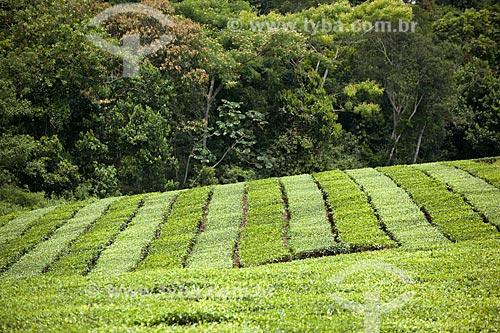 Assunto: Plantação de chá no Vale do Ribeira   / Local: Pariquera-Açú - São Paulo (SP) - Brasil / Data: 02/2012