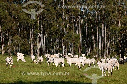 Assunto: Rebanho de gado nelore pastando na zona rural de Taquarivaí com eucaliptos ao fundo / Local: Taquarivaí - São Paulo (SP) - Brasil / Data: 02/2012