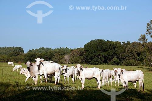 Assunto: Rebanho de gado nelore pastando na zona rural de Taquarivaí / Local: Taquarivaí - São Paulo (SP) - Brasil / Data: 02/2012