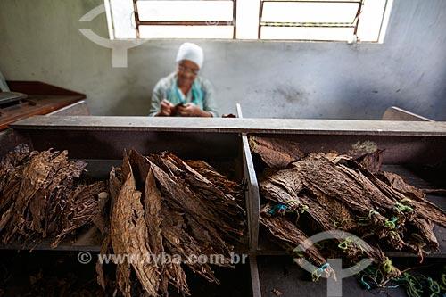 Assunto: Folhas de tabaco para a produção de charutos - Don Francisco Charutos - Tabaco mata fina / Local: Fazenda Campo Verde - Cruz das Almas - Bahia (BA) - Brasil / Data: 07/2012