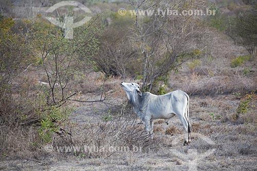 Assunto: Boi em pasto seco no período de estiagem na caatinga / Local: Euclides da Cunha - Bahia (BA) - Brasil / Data: 06/2012
