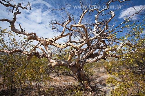 Assunto: Árvore Umburana (Amburana cearensis) no sertão pernambucano / Local: Salgueiro - Pernambuco (PE) - Brasil / Data: 06/2012