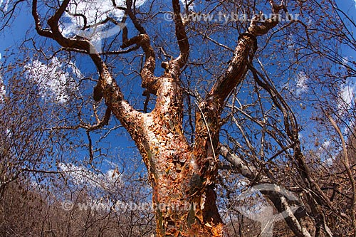 Assunto: Árvore Umburana (Amburana cearensis) no sertão de pernambuco / Local: Petrolina - Pernambuco (PE) - Brasil / Data: 06/2012
