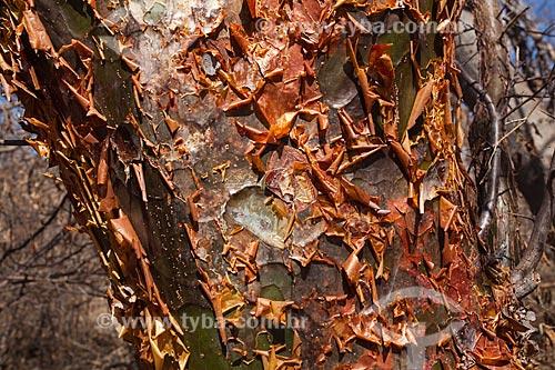 Assunto: Detalhe de tronco de umburana (Amburana cearensis) no sertão de Pernambuco / Local: Petrolina - Pernambuco (PE) - Brasil / Data: 06/2012