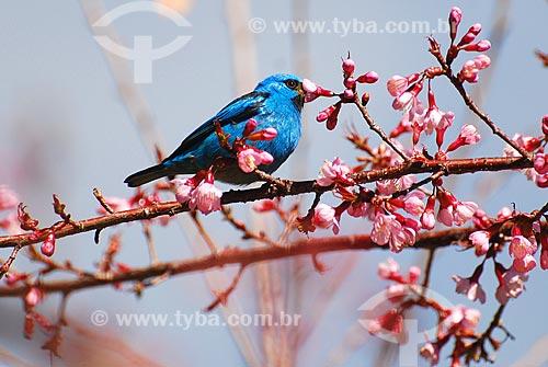 Assunto: Saí-azul ou Saíra (Dacnis cayana) em galho de cerejeira / Local: Itamonte - Minas Gerais (MG) - Brasil / Data: 06/2010