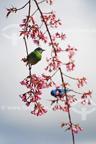 Assunto: Saíra em galho de cerejeira / Local: Itamonte - Minas Gerais ( MG ) - Brasil / Data: 06/2010