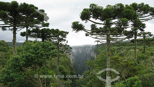 Araucárias (Araucaria angustifolia) no cânionitambezinho - Parque Nacional de Aparados da Serra / Local: Cambará do Sul - Rio Grande do Sul (RS) - Brasil