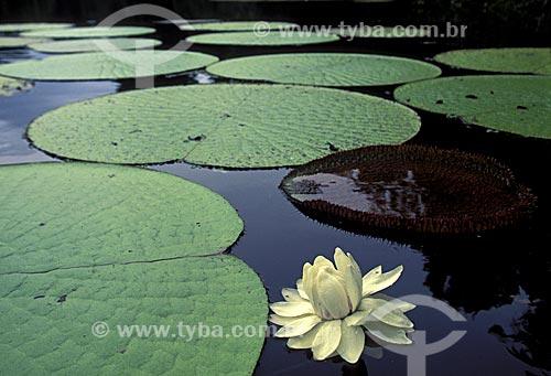 Vitória-régia (Victoria regia) no lago Bolsinha, na várzea amazônica da Reserva de Desenvolvimento Sustentável Mamirauá, estado do Amazonas, norte do Brasil.  - Amazonas