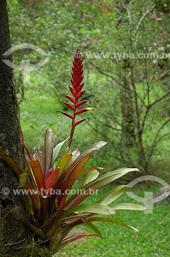Bromélia Vriesea gradata, da mata atlântica da Área de Preservação Ambiental da Serrinha do Alambari, município de Resende, Rio de Janeiro, Brasil.  - Resende - Rio de Janeiro