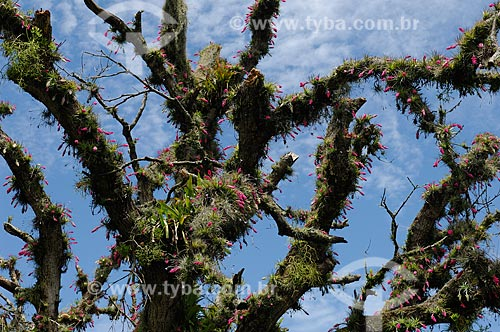 Bromeliads Tillandsia stricta blooming in a tree of the Atlantic rainforest by Pontal road, western Rio de Janeiro city, Rio de Janeiro State, Southeastern Brazil.  - Rio de Janeiro - Rio de Janeiro