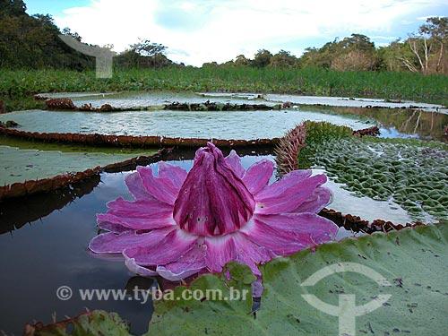 Vitória-régia (Victoria regia) em lago de várzea do rio Purus. RDS Piagaçu-Purus, Amazonas, Brasil  - Amazonas