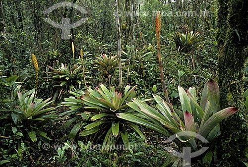 Bromélias Vriesea platynema na mata atlântica do Estado de Santa Catarina, Brasil.