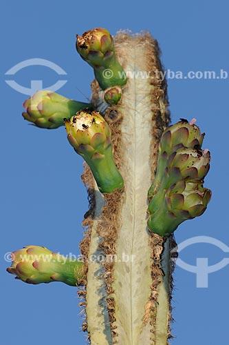 Flores do mandacaru (Cereus jamacaru) na mata-de-cipó de Boa Nova, no sudeste do estado da Bahia, Brasil.  - Bahia