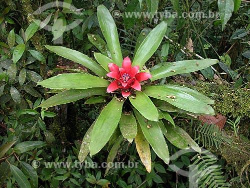 Nidularium fulgens é uma espécie endêmica da Mata Atlântica da Serra dos Órgãos. É curioso encontrá-lo na Serrinha do Alambari, nos limites da Mantiqueira, onde esta planta foi fotografada  - Resende - Brasil