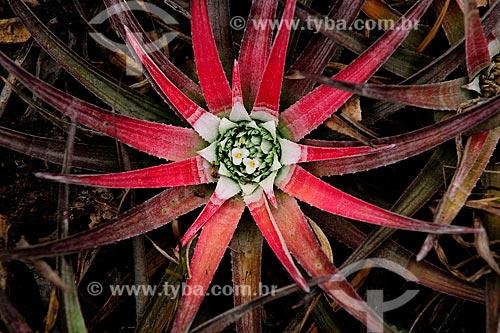 Bromélia Orthophytum albopictum, na Chapada Diamantina, Bahia, Brasil.  - Bahia