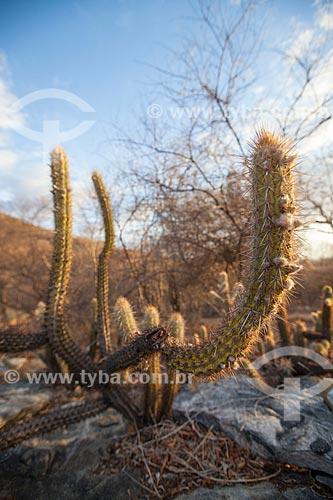Assunto: Cacto xique-xique vegetação característica da caatinga / Local: Juatama - Quixadá - Ceará (CE) - Brasil / Data: 11/2012