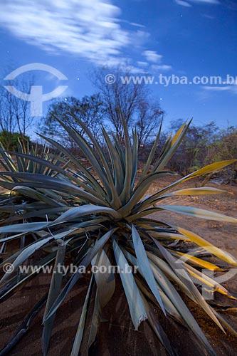 Assunto: Planta da família Agavaceae / Local: Juatama - Quixadá - Ceará (CE) - Brasil / Data: 11/2012