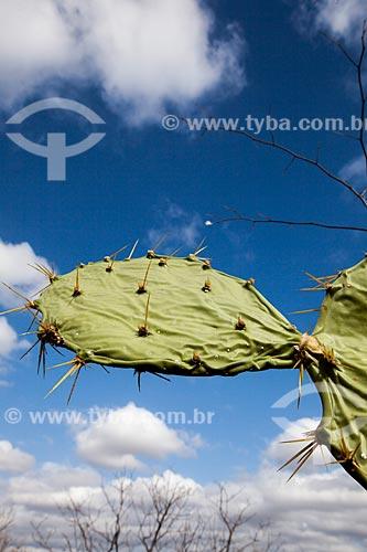 Assunto: Detalhe de Palma (Opuntia cochenillifera) / Local: Quixadá - Ceará (CE) - Brasil / Data: 11/2012