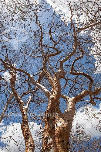 Assunto: Umburana (Amburana cearensis) na Fazenda Não Me Deixes que pertenceu a Rachel de Queiroz / Local: Daniel de Queiroz - Quixadá - Ceará  (CE) - Brasil / Data: 11/2012
