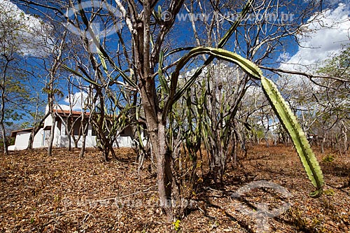 Assunto: Mandacaru (Cereus jamacaru) na Fazenda Não Me Deixes que pertenceu a Rachel de Queiroz  / Local: Daniel de Queiroz - Quixadá - Ceará  (CE) - Brasil / Data: 11/2012