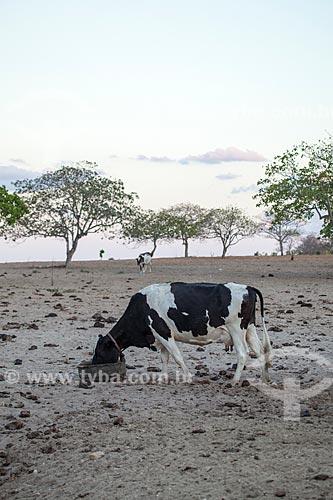 Assunto: Criação de gado em fazenda / Local: Distrito de Juatama - Quixadá - Ceará  (CE) - Brasil / Data: 11/2012