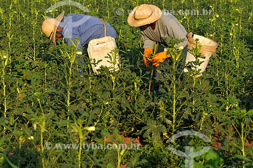 Trabalhadores rurais realizando a colheita do Quiabo (Abelmoschus esculentus)  - Buritama - São Paulo - Brasil