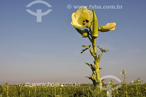 Assunto: Flor do Quiabeiro / Local: Buritama - São Paulo (SP) - Brasil / Data: 10/2012