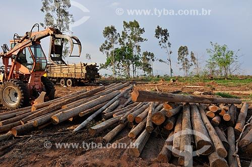 Assunto: Trator pegando troncos de Eucalyptus citriodora (Corymbia citriodora) / Local: Mirassol - São Paulo (SP) - Brasil / Data: 11/2012