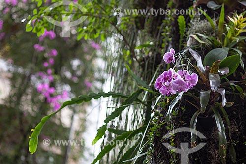 Assunto: Orquídeas Phalaenopsis roxa na rua Barão de Jaguaribe / Local: Ipanema - Rio de Janeiro (RJ) - Brasil / Data: 11/2012