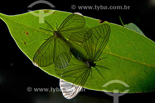 Assunto: Mariposas brancas cruzando / Local: Niterói - Rio de Janeiro (RJ) - Brasil / Data: 08/2012