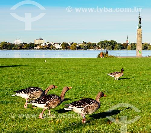 Assunto: Gansos às margens do Lago Alster / Local: Hamburgo - Alemanha - Europa / Data: 10/2011