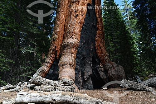 Assunto: Sequóia (Sequoiadendrum giganteum) no bosque Mariposa Grove  no Parque Nacional de Yosemite / Local: Califórnia - Estados Unidos da América - EUA / Data: 09/2012