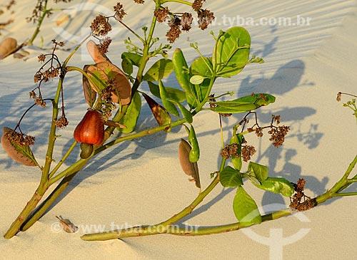 Assunto: Detalhe de cajueiro coberto por duna nos nos Lençóis Maranhenses / Local: Barreirinhas - Maranhão (MA) - Brasil / Data: 10/2012