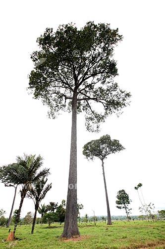 Assunto: Castanheira / Local: Alta Floresta - Mato Grosso (MT) - Brasil / Data: 05/2012