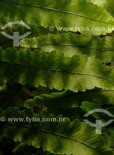 Assunto: Detalhes de folhas de samambaia / Local: Teresópolis - Rio de Janeiro (RJ) - Brasil / Data: 02/2008