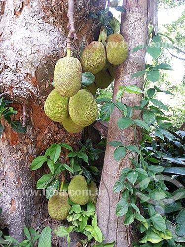 Assunto: Jaqueira (Artocarpus heterophyllus) no Parque Henrique Lage - conhecido como Parque Lage / Local: Jardim Botânico - Rio de Janeiro (RJ) - Brasil / Data: 12/2012